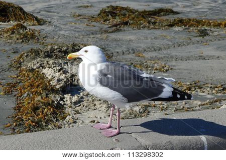 Seagull at La Jolla Shores