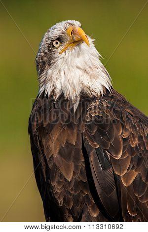 Portrait of a bald eagle ( haliaeetus leucocephalus)