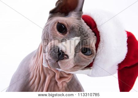 Portrait Of Sphynx Cat In Holiday Hat