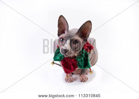 Sphynx Cat In Holidays Collar
