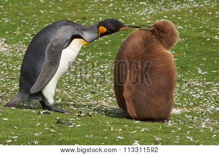 King Penguin with Hungry Chick