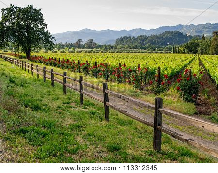 Calistoga vineyard on Highway 128, California.