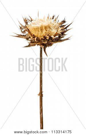 Dry Flowerhead Of Silybum Marianum