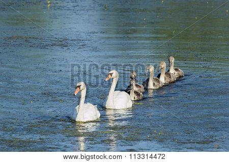 Mute Swan Family Cruising Pond