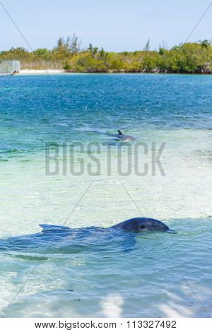 Dolphins in the caribbean sea. Cayo largo