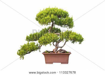 Bonsai Tree Of Chinese Juniper