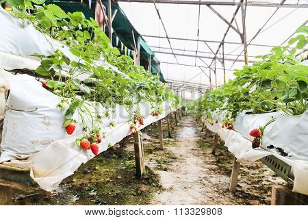 Strawberry Farming In Containers With Canopy And Water Irrigation
