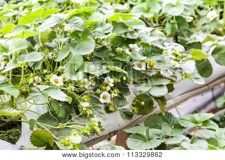 Strawberry Flower And Buds Planted In Containers.