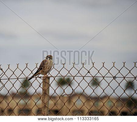 baby falcon