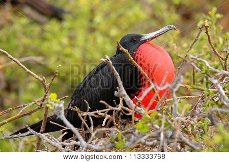 Male Magnificent Frigatebird With Inflated Gular Sac On North Seymour Island, Galapagos National Par