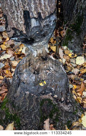 Tree trunk eaten by beaver
