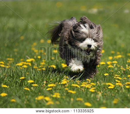 A dog running in the grass.