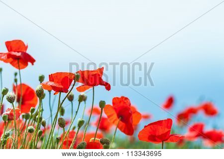 Beautiful Red Poppy Flowers.