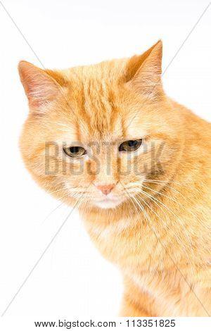 Head Red Tiger Cat