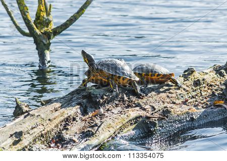 Turtles On A Tree Trunk In The Waters.