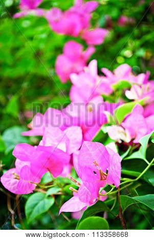 Pink Colorful Tropical Bougainvillea Flowers
