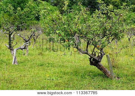 Small Apple Tree in Orchard