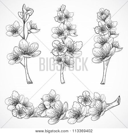 Cherry tree blossom. Vintage black and white hand drawn vector illustration in sketch style. Isolate