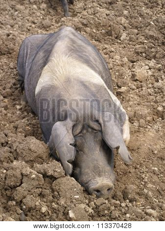 Muddy pig in field