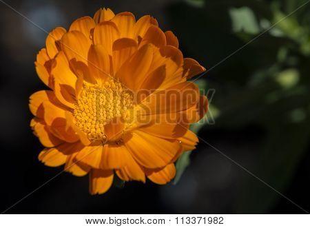 Single Orange Calendula Officinalis