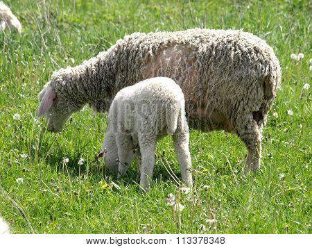 Sheep In The