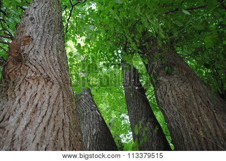 Strong tree trunks and treetop