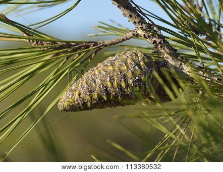 Calabrian Or Turkish Pine Cone