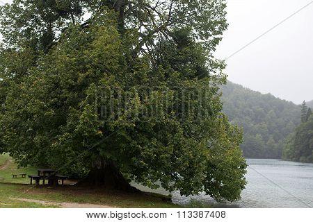 Big Old Broad-crowned Green Tree