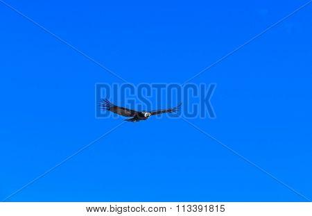 condor in sky