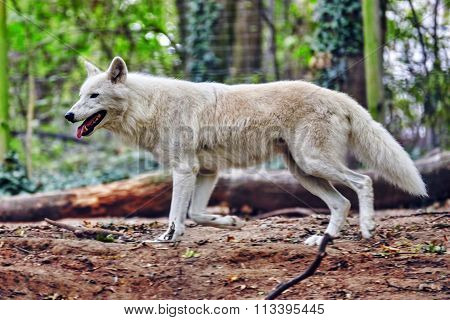 Gray Wolf (canis Lupus) In Its Natural Habitat.