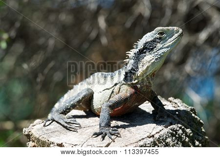 Monitor lizard on a stone in natural background. Monitor lizard is common name of several large liza