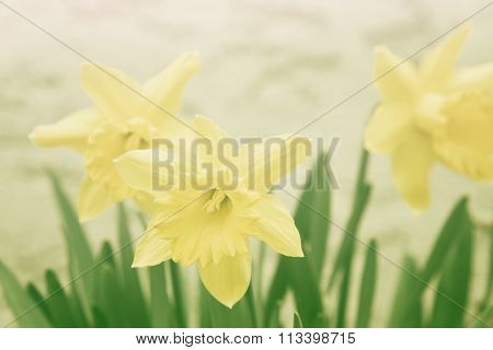 Sunny Feeling Look Of Daffodils