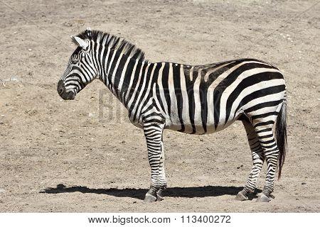 Grants Zebra (equus Burchelli Boehmi)