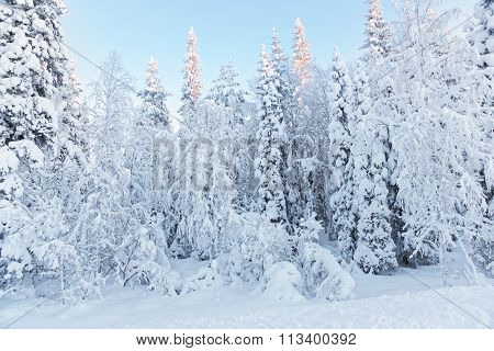 Sunny Summits Of The Trees In A Snow Covered Forest In Ruka Village In Finland On The Arctic Pole Ci