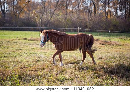 bay stallion in the pasture ,