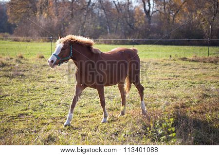 brown bay stallion in the pasture in automn