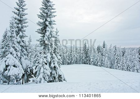 Snow Covered Trees At The Foreground And A Panoramic View Of Forest In Ruka In Finland In The Arctic