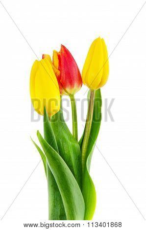 Tulips On White Background.
