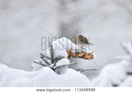 European Robin In Winter