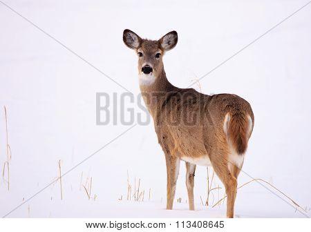 Montana Mule Deer Doe.