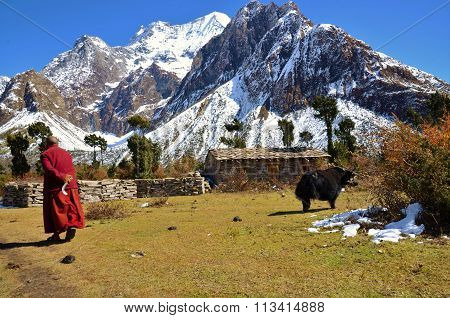 Yak and Buddhist monk in the Himalayas