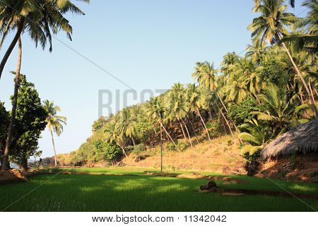 Paddy Field Next To The Beach India