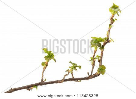 Blackcurrant Branch At Early Spring