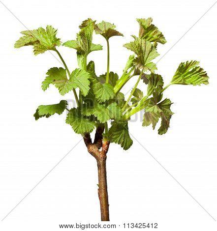 Blooming Twig Of Blackcurrant