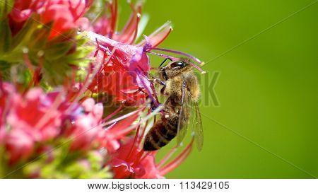 European dark bee