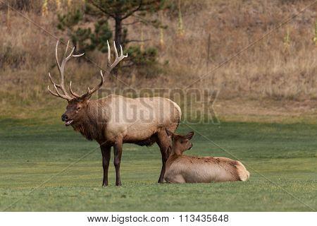 Bull and Cow Elk in Rut