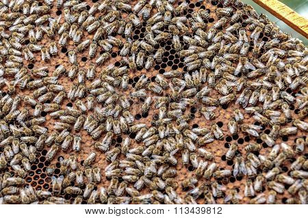 Healthy Honey Bee Frame Covered With Bees And Capped Larvae Cells