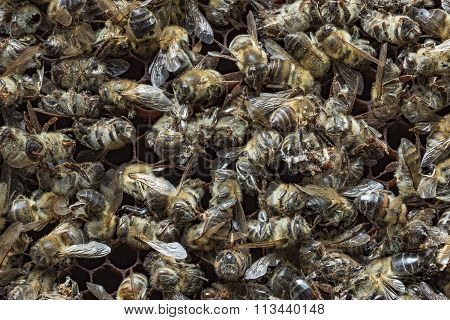 Dead Bees Covered With Dust And Mites On An Empty Honeycomb From A Hive In Decline, Plagued By The C