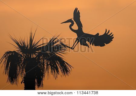 Great Blue Heron Landing In A Palm Tree At Sunrise