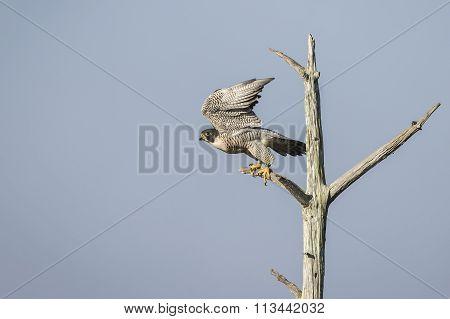 Peregrine Falcon Taking Flight - Florida